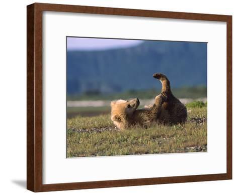Grizzly Bear (Ursus Arctos Horribilis) Cub Playing, Katmai Nat'l Park, Alaska-Suzi Eszterhas/Minden Pictures-Framed Art Print
