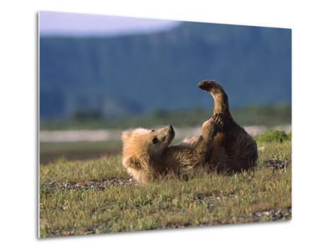 Grizzly Bear (Ursus Arctos Horribilis) Cub Playing, Katmai Nat'l Park, Alaska-Suzi Eszterhas/Minden Pictures-Metal Print