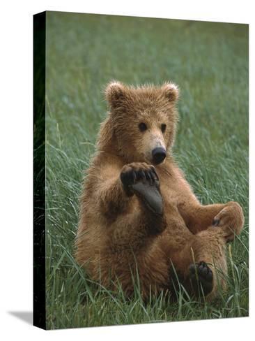 Grizzly Bear (Ursus Arctos Horribilis) Cub Playing, Katmai Nat'l Park, Alaska-Suzi Eszterhas/Minden Pictures-Stretched Canvas Print