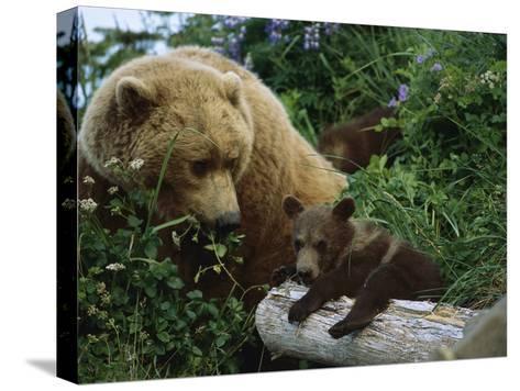 Grizzly Bear (Ursus Arctos Horribilis) Mother and Cubs, Katmai Nat'l Park, Alaska-Suzi Eszterhas/Minden Pictures-Stretched Canvas Print