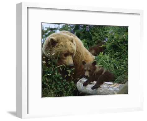 Grizzly Bear (Ursus Arctos Horribilis) Mother and Cubs, Katmai Nat'l Park, Alaska-Suzi Eszterhas/Minden Pictures-Framed Art Print