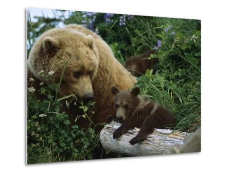 Grizzly Bear (Ursus Arctos Horribilis) Mother and Cubs, Katmai Nat'l Park, Alaska-Suzi Eszterhas/Minden Pictures-Metal Print