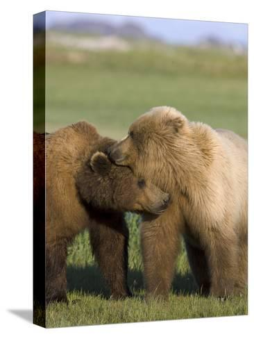 Grizzly Bear (Ursus Arctos Horribilis) Pair Courting, Katmai Nat'l Park, Alaska-Suzi Eszterhas/Minden Pictures-Stretched Canvas Print