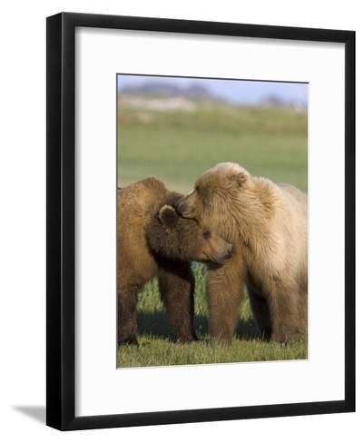 Grizzly Bear (Ursus Arctos Horribilis) Pair Courting, Katmai Nat'l Park, Alaska-Suzi Eszterhas/Minden Pictures-Framed Art Print