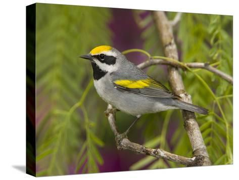 Golden-Winged Warbler (Vermivora Chrysoptera) Male Perched on Branch, Rio Grande Valley, Texas-Tom Vezo/Minden Pictures-Stretched Canvas Print