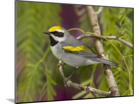 Golden-Winged Warbler (Vermivora Chrysoptera) Male Perched on Branch, Rio Grande Valley, Texas-Tom Vezo/Minden Pictures-Mounted Photographic Print