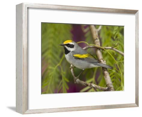 Golden-Winged Warbler (Vermivora Chrysoptera) Male Perched on Branch, Rio Grande Valley, Texas-Tom Vezo/Minden Pictures-Framed Art Print