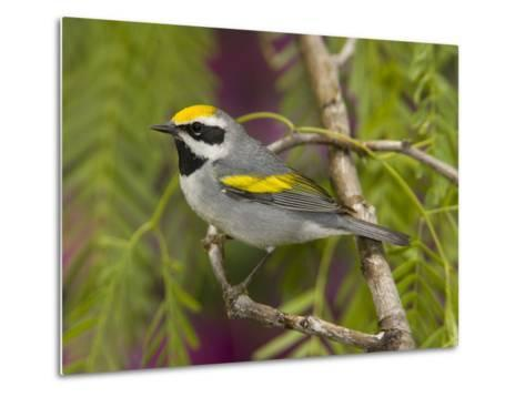 Golden-Winged Warbler (Vermivora Chrysoptera) Male Perched on Branch, Rio Grande Valley, Texas-Tom Vezo/Minden Pictures-Metal Print