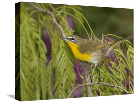 Yellow-Breasted Chat (Icteria Virens) Perching, Rio Grande Valley, Texas-Tom Vezo/Minden Pictures-Stretched Canvas Print