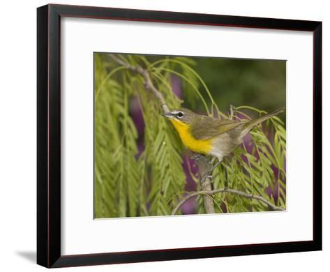Yellow-Breasted Chat (Icteria Virens) Perching, Rio Grande Valley, Texas-Tom Vezo/Minden Pictures-Framed Art Print