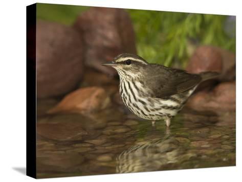Northern Waterthrush (Seiurus Noveboracensis) Warbler Wading in Water, Rio Grande Valley, Texas-Tom Vezo/Minden Pictures-Stretched Canvas Print