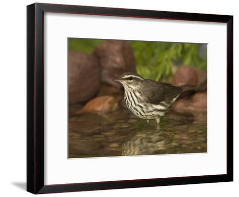 Northern Waterthrush (Seiurus Noveboracensis) Warbler Wading in Water, Rio Grande Valley, Texas-Tom Vezo/Minden Pictures-Framed Art Print