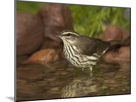 Northern Waterthrush (Seiurus Noveboracensis) Warbler Wading in Water, Rio Grande Valley, Texas-Tom Vezo/Minden Pictures-Mounted Photographic Print
