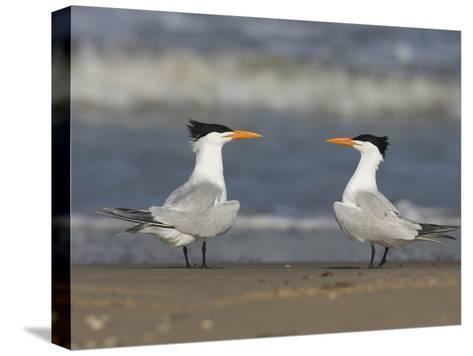 Royal Tern (Sterna Maxima) Pair on Beach, Rio Grande Valley, Texas-Tom Vezo/Minden Pictures-Stretched Canvas Print