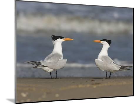 Royal Tern (Sterna Maxima) Pair on Beach, Rio Grande Valley, Texas-Tom Vezo/Minden Pictures-Mounted Photographic Print