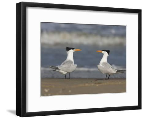 Royal Tern (Sterna Maxima) Pair on Beach, Rio Grande Valley, Texas-Tom Vezo/Minden Pictures-Framed Art Print