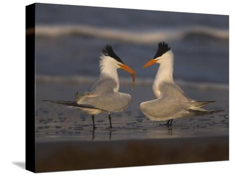 Royal Tern (Sterna Maxima) in Food Exchange Part of Courtship Display, Rio Grande Valley, Texas-Tom Vezo/Minden Pictures-Stretched Canvas Print