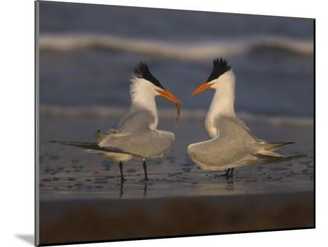 Royal Tern (Sterna Maxima) in Food Exchange Part of Courtship Display, Rio Grande Valley, Texas-Tom Vezo/Minden Pictures-Mounted Photographic Print