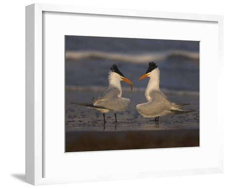 Royal Tern (Sterna Maxima) in Food Exchange Part of Courtship Display, Rio Grande Valley, Texas-Tom Vezo/Minden Pictures-Framed Art Print