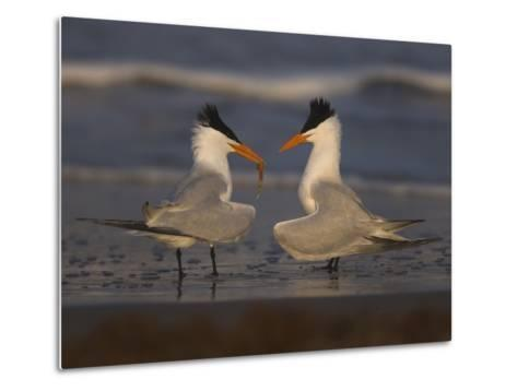 Royal Tern (Sterna Maxima) in Food Exchange Part of Courtship Display, Rio Grande Valley, Texas-Tom Vezo/Minden Pictures-Metal Print