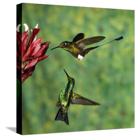 Booted Racket-Tail (OcreatusUnderwoodii), Western Emerald (ChlorostilbonMelanorhynchus) Hummingbird-Tom Vezo/Minden Pictures-Stretched Canvas Print