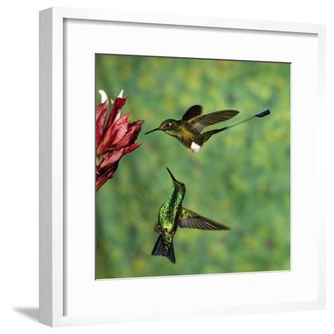 Booted Racket-Tail (OcreatusUnderwoodii), Western Emerald (ChlorostilbonMelanorhynchus) Hummingbird-Tom Vezo/Minden Pictures-Framed Art Print