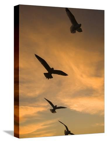Mew Gull (Larus Canus) Group Silhouetted at Sunset in La Jolla, California-Tom Vezo/Minden Pictures-Stretched Canvas Print