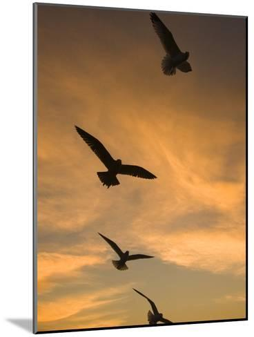 Mew Gull (Larus Canus) Group Silhouetted at Sunset in La Jolla, California-Tom Vezo/Minden Pictures-Mounted Photographic Print