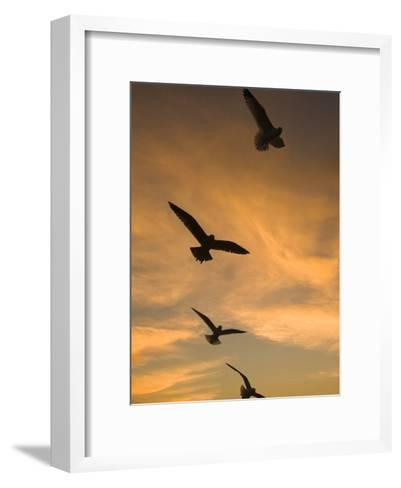 Mew Gull (Larus Canus) Group Silhouetted at Sunset in La Jolla, California-Tom Vezo/Minden Pictures-Framed Art Print