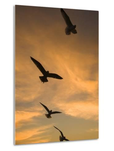 Mew Gull (Larus Canus) Group Silhouetted at Sunset in La Jolla, California-Tom Vezo/Minden Pictures-Metal Print