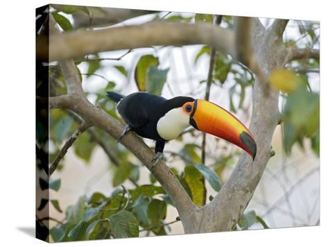 Toco Toucan (Ramphastos Toco), Pantanal, Brazil-Suzi Eszterhas/Minden Pictures-Stretched Canvas Print