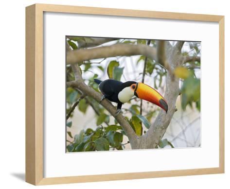 Toco Toucan (Ramphastos Toco), Pantanal, Brazil-Suzi Eszterhas/Minden Pictures-Framed Art Print