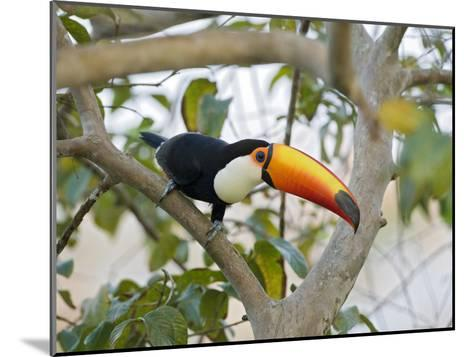 Toco Toucan (Ramphastos Toco), Pantanal, Brazil-Suzi Eszterhas/Minden Pictures-Mounted Photographic Print