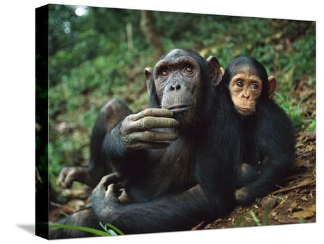 Chimpanzee (Pan Troglodytes) Adult Female with Orphan Baby She Has Adopted, Gabon-Cyril Ruoso-Stretched Canvas Print