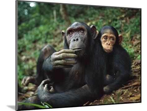 Chimpanzee (Pan Troglodytes) Adult Female with Orphan Baby She Has Adopted, Gabon-Cyril Ruoso-Mounted Photographic Print