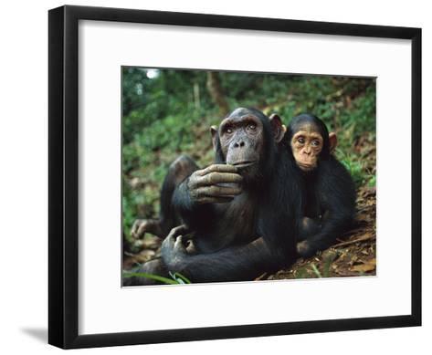 Chimpanzee (Pan Troglodytes) Adult Female with Orphan Baby She Has Adopted, Gabon-Cyril Ruoso-Framed Art Print