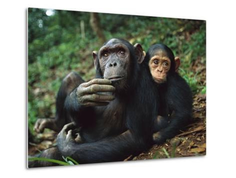 Chimpanzee (Pan Troglodytes) Adult Female with Orphan Baby She Has Adopted, Gabon-Cyril Ruoso-Metal Print