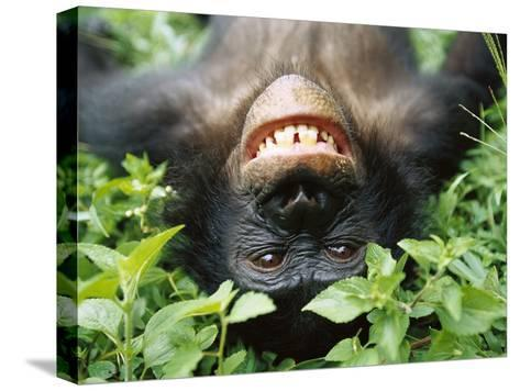 Bonobo or Pygmy Chimpanzee (Pan Paniscus) Smiling While Laying on Ground-Cyril Ruoso-Stretched Canvas Print