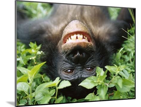 Bonobo or Pygmy Chimpanzee (Pan Paniscus) Smiling While Laying on Ground-Cyril Ruoso-Mounted Photographic Print