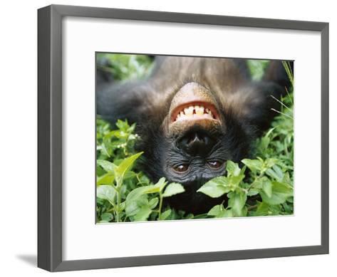 Bonobo or Pygmy Chimpanzee (Pan Paniscus) Smiling While Laying on Ground-Cyril Ruoso-Framed Art Print