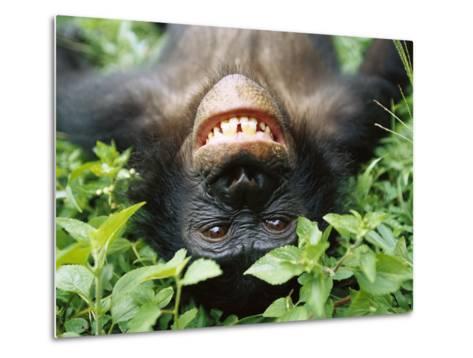 Bonobo or Pygmy Chimpanzee (Pan Paniscus) Smiling While Laying on Ground-Cyril Ruoso-Metal Print