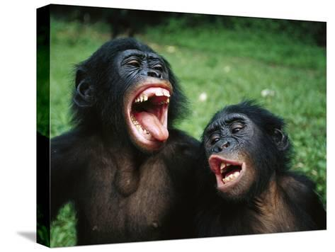 Bonobo or Pygmy Chimpanzee (Pan Paniscus) Juvenile Pair Making Funny Faces-Cyril Ruoso-Stretched Canvas Print