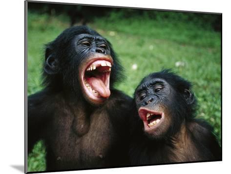 Bonobo or Pygmy Chimpanzee (Pan Paniscus) Juvenile Pair Making Funny Faces-Cyril Ruoso-Mounted Photographic Print