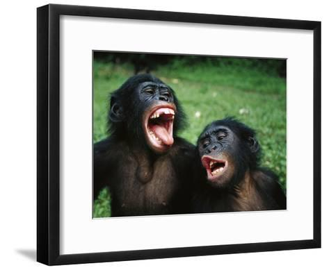 Bonobo or Pygmy Chimpanzee (Pan Paniscus) Juvenile Pair Making Funny Faces-Cyril Ruoso-Framed Art Print