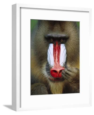 Mandrill (Mandrillus Sphinx) Close-Up of an Adult Male Picking His Nose, Gabon-Cyril Ruoso-Framed Art Print