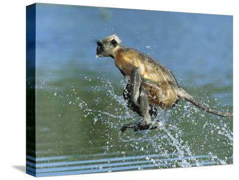Hanuman or Grey or Common Langur (Semnopithecus Entellus) Crossing a River, India-Cyril Ruoso-Stretched Canvas Print