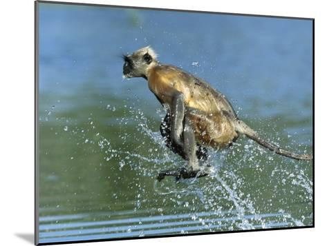 Hanuman or Grey or Common Langur (Semnopithecus Entellus) Crossing a River, India-Cyril Ruoso-Mounted Photographic Print