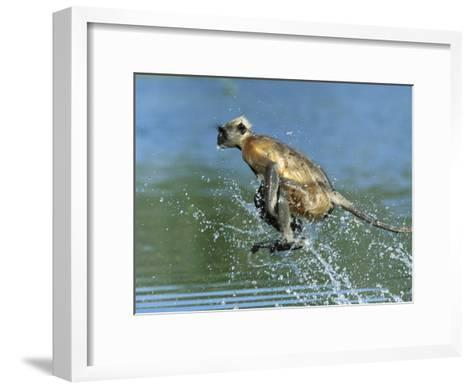 Hanuman or Grey or Common Langur (Semnopithecus Entellus) Crossing a River, India-Cyril Ruoso-Framed Art Print