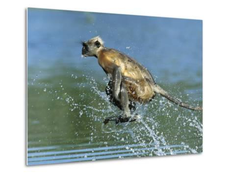 Hanuman or Grey or Common Langur (Semnopithecus Entellus) Crossing a River, India-Cyril Ruoso-Metal Print