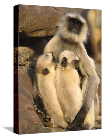 Hanuman or Grey or Common Langur (Semnopithecus Entellus) Mother Nursing Twins-Cyril Ruoso-Stretched Canvas Print